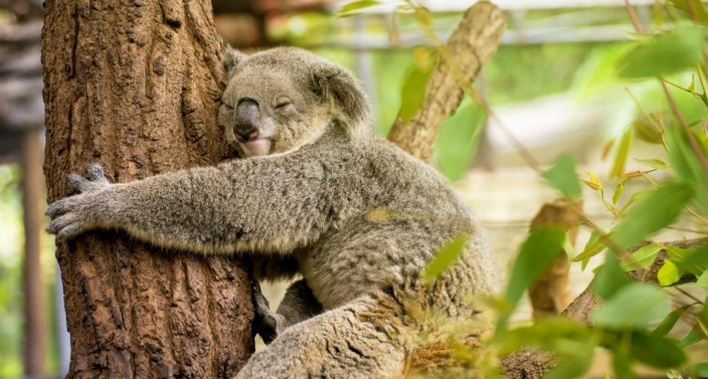 un koala australiano abrazando un árbol